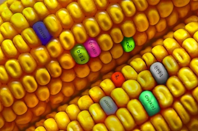 genetically modified foods feeding the world essay