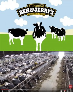 Dairy production in the Netherlands is big business relying as a 2014 report by the Irish Farmers Journal found, on high inputs and outputs. The photo above is the Ben & Jerry's image of cows, the photo below is of a typical dairy herd from a family farm in Northern Holland (though not a B&J supplier). In Holland the cows may graze for a third of the year, but the rest of the time they are kept indoors.